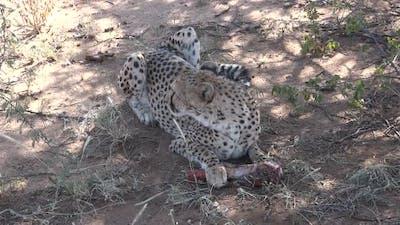 Wild African Cheetah Predator Eating Dead  Prey  in Kenya, Africa, on a hot dry sunny summer day.