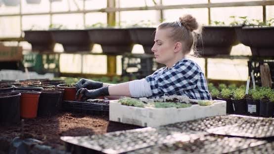 Thumbnail for Landwirtschaft - Weibliche Gärtnerin Arbeiten mit Blumen Sämlinge im Gewächshaus