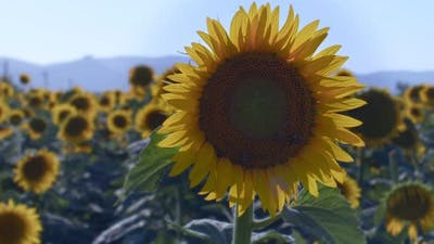 Sunflowers In Green Nature 17