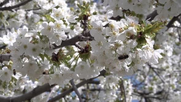 Thumbnail for White Apple Tree Flowers