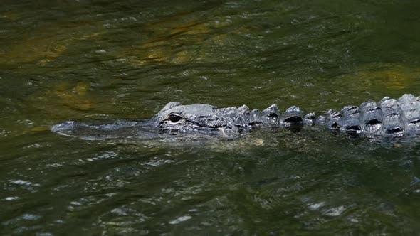 Thumbnail for Aligator in swampy marsh