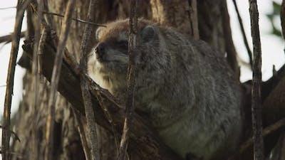 Dassie rat in a tree