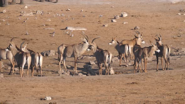 Thumbnail for Herd of roan antelope standing at a dry waterhole