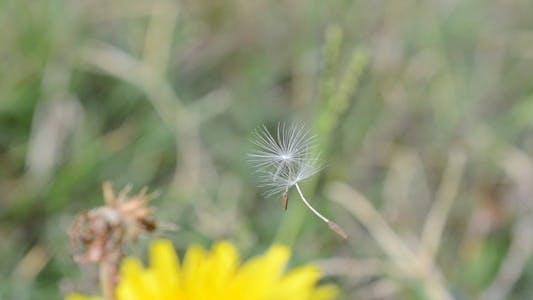 Thumbnail for Dandelion 2