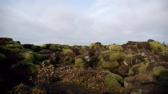 Iceland Lava Field Covered with Green Moss From Volcano Eruption. Move Camera