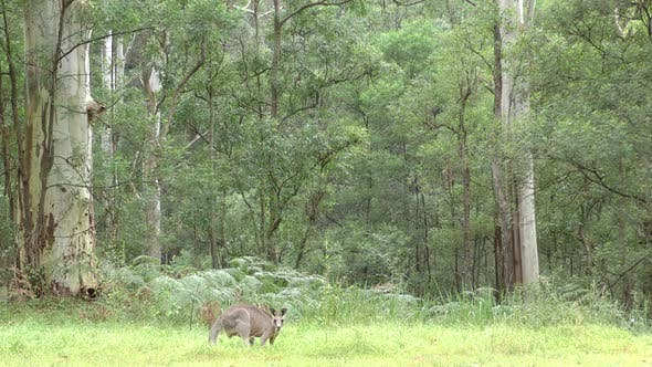 Eastern Grey Kangaroo Buck Male Adult Lone Eating Grazing