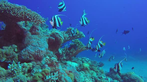 Cover Image for Colorful Underwater Tropical Banner Fish