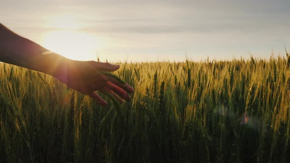 Cover Image for Farmer's Hand Over Wheat Field and Sunset