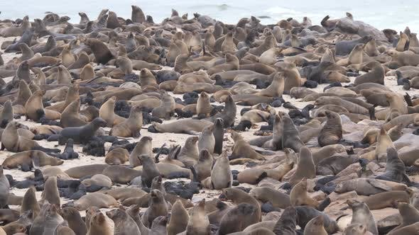 Thumbnail for Sea lion colony at the coast of Cape Cross Seal Reserve