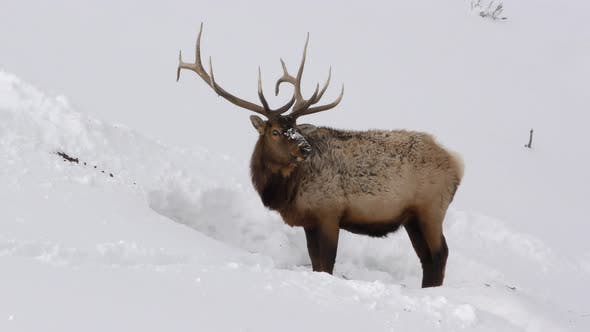 Thumbnail for Elk Bull Adult Lone Foraging Looking For Food in Winter Trophy Antlers Majestic
