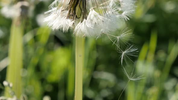 Thumbnail for Common dandelion flower seeds on the wind close-up 4K 2160p 30fps UHD footage - Taraxacum officinale
