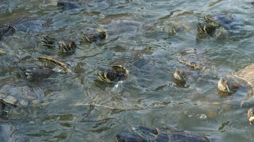 Active Small Turtles Seeking and Eating Food in Splashing Pool on a Farm in Summer