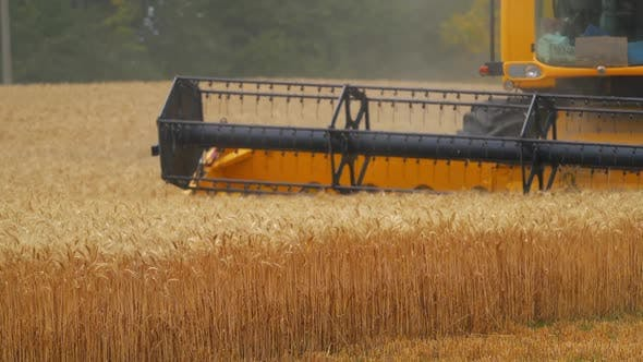Heavy machinery gathering ripe wheat. Agricultural concept. Rural landscape.