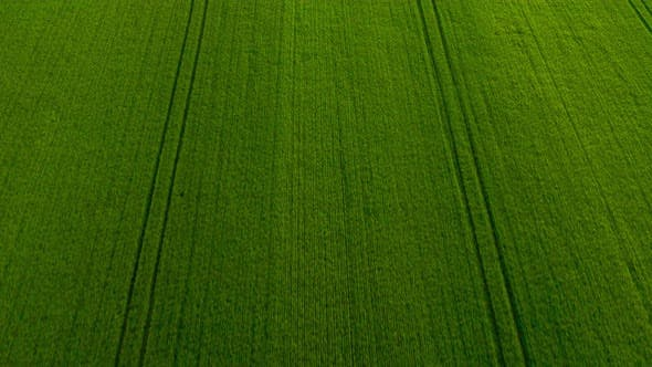 Thumbnail for Flying Over a Green Wheat Field, Agricultural Industry, Natural Texture Background in Motion