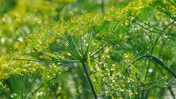 Thumbnail for Inflorescence of Dill Under Rain