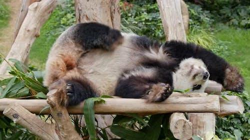 Panda sleeping on the wood