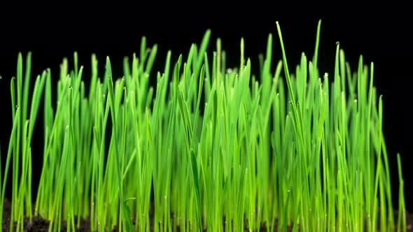 Thumbnail for Fresh Green Grass Growing
