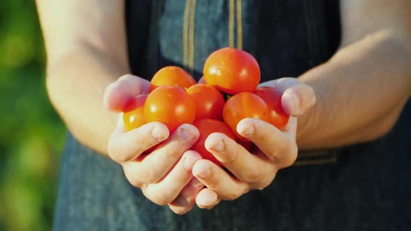 A Farmer Holds a Handful of Ripe Red Tomatoes