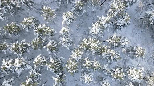 Snowy Trees Forest Winter Drone