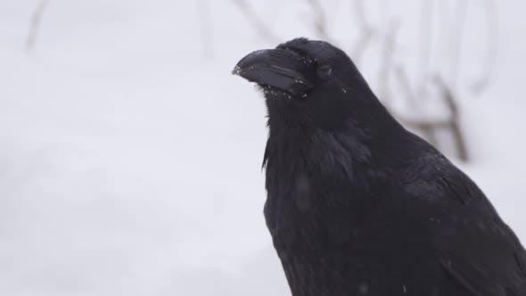 Thumbnail for Un oiseau dans la neige regarde la caméra