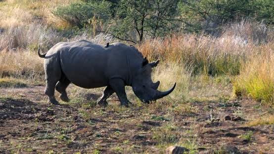 White rhinoceros Pilanesberg, South Africa safari wildlife