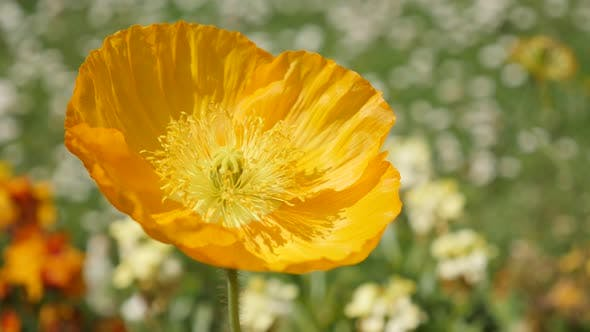 Thumbnail for Beautiful Iceland Poppy orange boreal flowering plant  in the garden 4K 2160p 30fps UltraHD footage