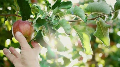 Man's hand picking apples in the apple orchard