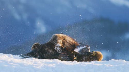 Brutal Fight Between Two Large Eagles in the Mountains at Winter