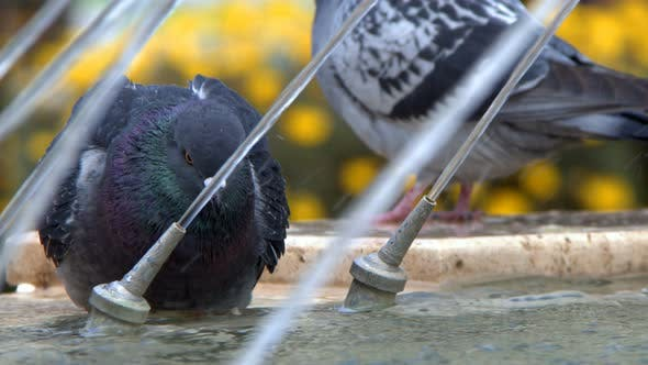 Thumbnail for Animal Bird Pigeon Doves Near Fountain 9