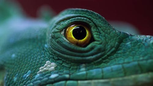 Eye of gecko close-up beautiful color combination.