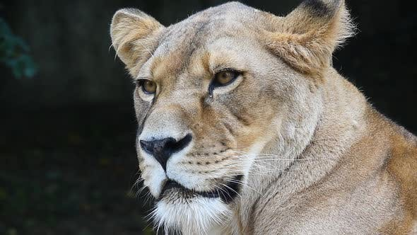 Thumbnail for Portrait of African lioness