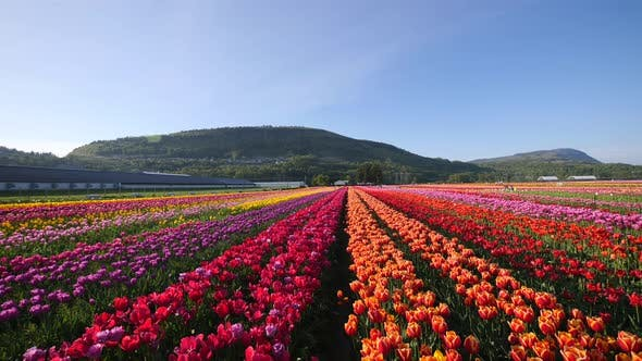 Thumbnail for Orange tulip flowers fields growing in crops