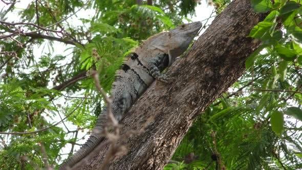 Green Iguana Male Adult Lone Breeding Head Bobbing On Branch In Tree