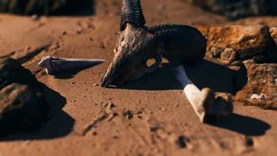 Ram Skull at Sand Beach