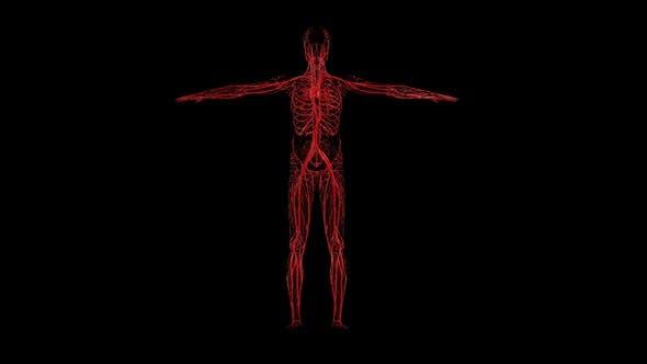Male Blood Circulatory System