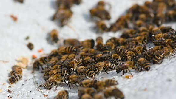 Bees Crawl on Honeycombs. Bees Work in the Hive. Apiary Closeup. Honey Production