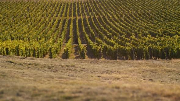 Thumbnail for Amazing Vineyard
