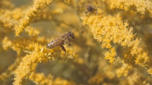 Bee Flying And Hovering