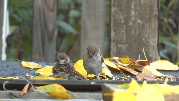 Thumbnail for Two Sparrows on Bathing