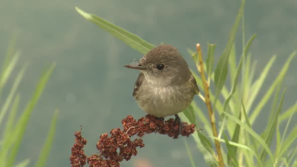 Thumbnail for Western Wood-pewee Bird or Songbird Perched Flying Summer