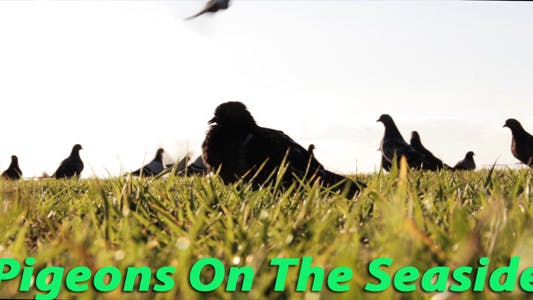 Thumbnail for Pigeons On The Seaside