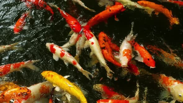 Thumbnail for Koi Fish in Pond Eating