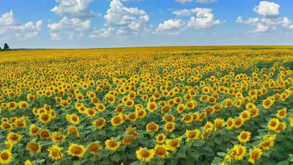 Thumbnail for Drone Flying Over a Sunflower Field Moving Across a Field of Sunflowers