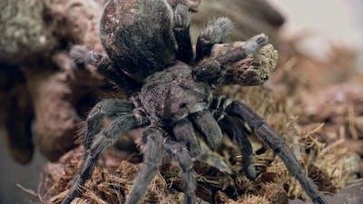 Tarantula Spider in Vivarium