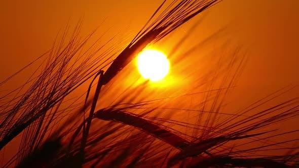 Thumbnail for Ears of Ripe Wheat Against Setting Sun,