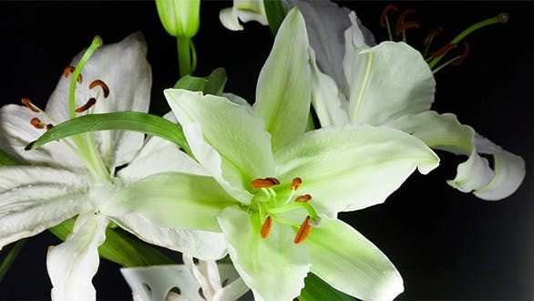 Cover Image for White Lily
