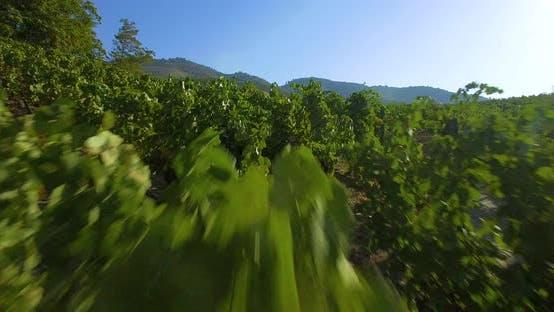 Thumbnail for Grape Leaves Aerial