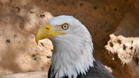 Thumbnail for Bald Eagle Close-up