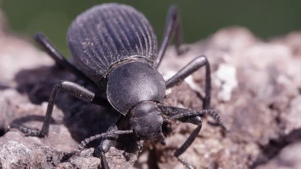 Macro shot of black ground beetle