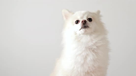 Thumbnail for White cute pomeranian